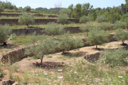 002 Olive groves on terraces in Provence (France) 2006