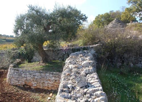 003 Olive tree in Puglia (Italy) 2008